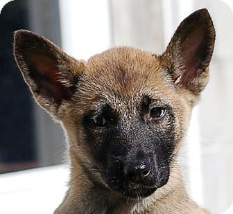 German Shepherd Dog/Belgian Malinois Mix Puppy for adoption in Preston, Connecticut - Breeze AD 01-23-16