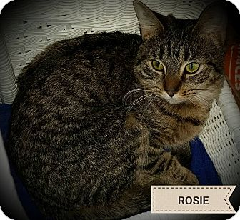 Domestic Mediumhair Cat for adoption in Fairborn, Ohio - Rose
