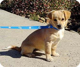 Jack Russell Terrier/Tibetan Spaniel Mix Puppy for adoption in Lathrop, California - Dazzle