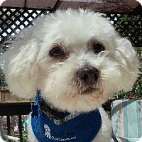 Adopt A Pet :: Charley - La Costa, CA