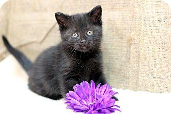 Domestic Shorthair Kitten for adoption in Midland, Michigan - Generosa
