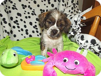 Shih Tzu Mix Puppy for adoption in Marshall, Texas - Shasta