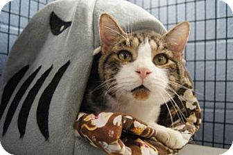 Domestic Shorthair Cat for adoption in New Milford, Connecticut - Tabu