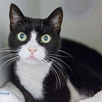 Domestic Shorthair Cat for adoption in Merrifield, Virginia - Shauna