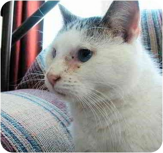 Domestic Shorthair Cat for adoption in Proctor, Minnesota - Toby
