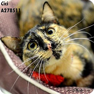 Domestic Mediumhair Cat for adoption in Conroe, Texas - CICI/CECILIA