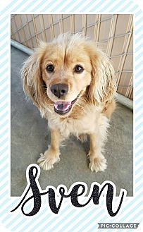 Spaniel (Unknown Type) Mix Puppy for adoption in Edwards AFB, California - Sven