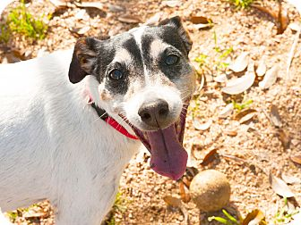 Jack Russell Terrier Mix Dog for adoption in Marble Falls, Texas - JAX