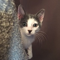 Domestic Shorthair Kitten for adoption in Tampa, Florida - Monkey