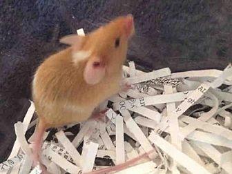 Mouse for adoption in Urbana, Illinois - BLITZEN