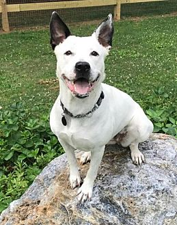Cattle Dog/American Pit Bull Terrier Mix Dog for adoption in Baltimore, Maryland - Paddie