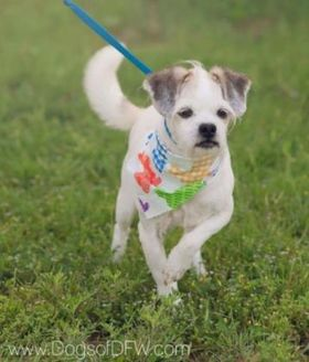 Terrier (Unknown Type, Small) Mix Dog for adoption in justin, Texas - Buddy
