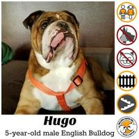 Adopt A Pet :: Hugo *PENDING* - Everett, WA