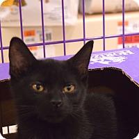 Adopt A Pet :: Shadow - Flushing, MI