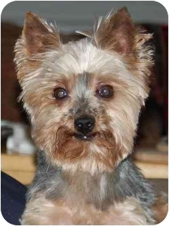 Yorkie, Yorkshire Terrier Dog for adoption in Charlotte, North Carolina - Pebbles