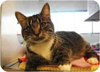 Domestic Shorthair Cat for adoption in Walker, Michigan - Atlanta