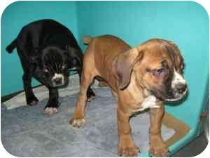 Cane Corso Mix Puppy for adoption in New York, New York - Pups-NY Males #3 & #4