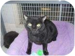 Domestic Shorthair Cat for adoption in Edwardsville, Illinois - Precious