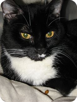 Domestic Shorthair Cat for adoption in Wheaton, Illinois - Lloyd