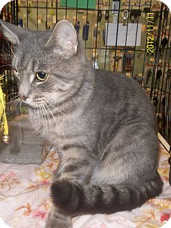 Domestic Shorthair Cat for adoption in Riverside, Rhode Island - Dante