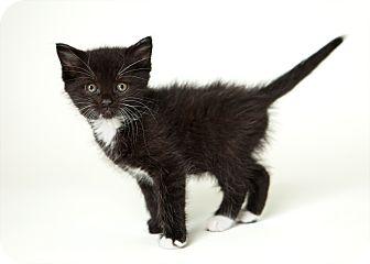 Domestic Shorthair Kitten for adoption in Rockaway, New Jersey - Fang