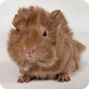 Guinea Pig for adoption in Chicago, Illinois - Corky
