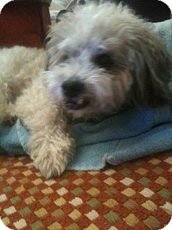 Maltese/Poodle (Miniature) Mix Dog for adoption in Corona, California - JACOB