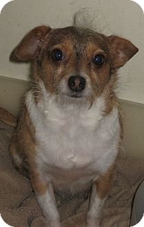 Terrier (Unknown Type, Small)/Chihuahua Mix Dog for adoption in Studio City, California - Darling