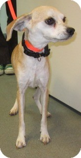 Beagle/Chihuahua Mix Dog for adoption in Westminster, California - Ellie