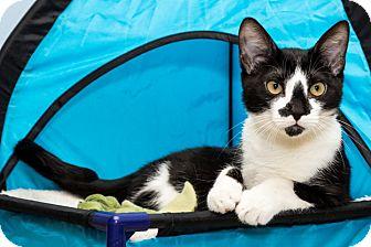 Domestic Shorthair Kitten for adoption in Edwardsville, Illinois - Cade