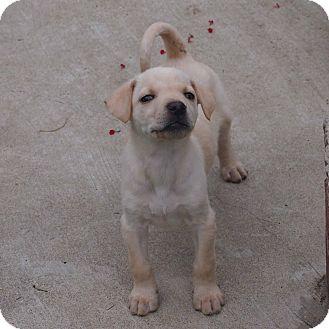 Labrador Retriever Mix Puppy for adoption in Plano, Texas - Buffy