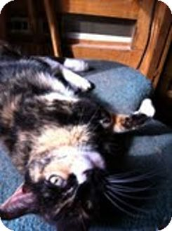 Calico Cat for adoption in Grand Junction, Colorado - Angel