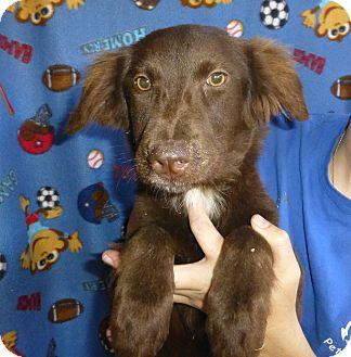 Australian Shepherd/Labrador Retriever Mix Puppy for adoption in Oviedo, Florida - Mary
