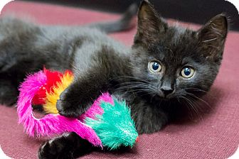 Bombay Kitten for adoption in Chicago, Illinois - Butternut