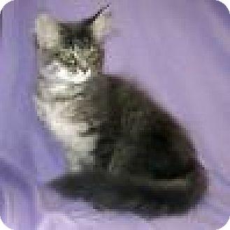 Domestic Mediumhair Cat for adoption in Powell, Ohio - Farrah