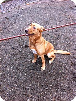 Labrador Retriever/Shepherd (Unknown Type) Mix Dog for adoption in Seattle c/o Kingston 98346/ Washington State, Washington - Tatum-OH