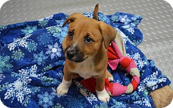 Boxer Mix Puppy for adoption in Burleson, Texas - Sandy