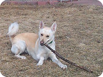 Siberian Husky Mix Dog for adoption in Minneapolis, Minnesota - Willow