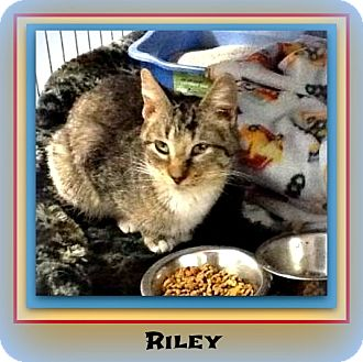 Domestic Shorthair Kitten for adoption in New Richmond,, Wisconsin - Riley