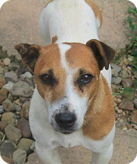 Jack Russell Terrier/Terrier (Unknown Type, Small) Mix Dog for adoption in North Olmsted, Ohio - Rollo