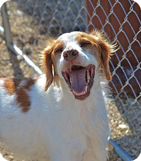 Brittany Mix Dog for adoption in Meridian, Idaho - Harley