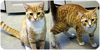 Domestic Shorthair Cat for adoption in Forked River, New Jersey - Burt