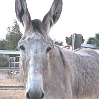 Adopt A Pet :: Eyore the Donkey - West Los Angeles, CA