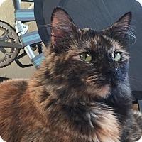 Domestic Longhair Cat for adoption in Alamo, California - Anya