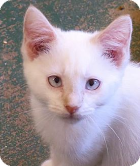 Oriental Kitten for adoption in Gonzales, Texas - Curt