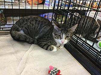 Domestic Shorthair Cat for adoption in Gilbert, Arizona - Heidi
