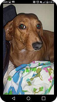 Dachshund Dog for adoption in Gainesville, Georgia - lucy