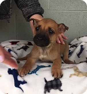 Boxer/Shepherd (Unknown Type) Mix Puppy for adoption in Harrisonburg, Virginia - Budweiser