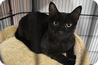 Domestic Shorthair Kitten for adoption in Miami Shores, Florida - Chasity