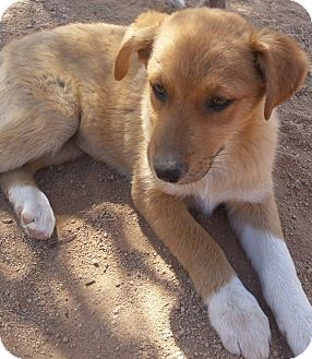 Shepherd (Unknown Type)/Labrador Retriever Mix Dog for adoption in Tucson, Arizona - Zeva
